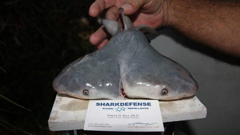 Two-Headed Sharks Are Real, And They're Terrifyingly Becoming More Common