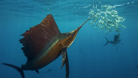 Sailfish 'Slasher Film' Shows Groundbreaking Footage of Group Hunting