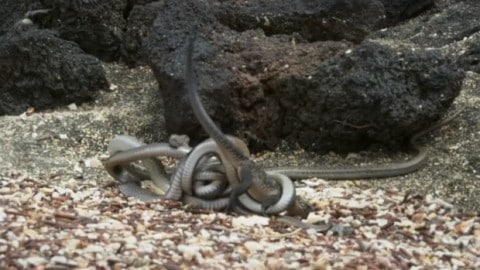 Snakes Run Down Iguana in Terrifying Video Straight From a Real Life Horror Film