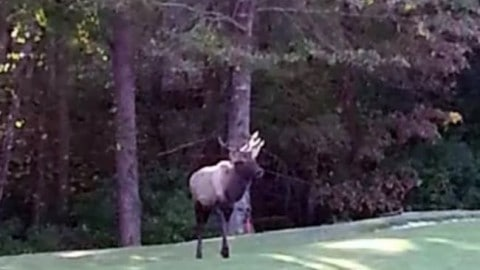 Elk Spotted for First Time in South Carolina in Nearly 280 Years