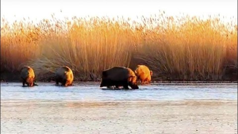 Biologist Captures Amazing Footage of Wild Boars Fishing