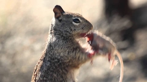 Apparently Squirrels Eat Mice, And It's Pretty Gruesome