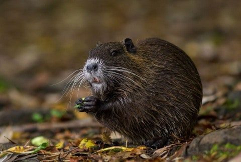 Nutria AKA River Rat is Now the Hottest Menu Item in Upscale Restaurants