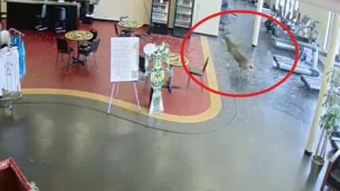 Deer Breaks Through Gold's Gym Window in Crazy Search of the Ultimate Workout