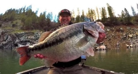 Massive 10.8 Pound Spotted Bass Could be New World Record