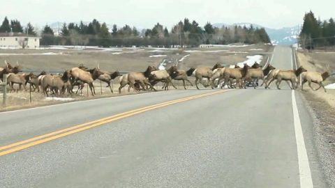 This Massive Herd of Elk Crossing the Road is Something You Have to See to Believe