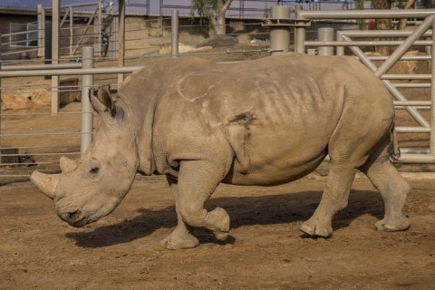 Metal Detector Discovers Zoo Rhino Was Shot and Nearly Killed by Poachers