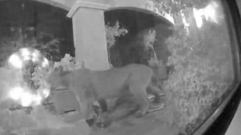 Video of Mountain Lion Eating Deer on Suburban Porch Goes Viral