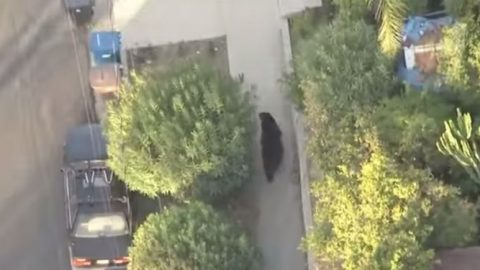 Guy Walks Into Giant Bear While Texting