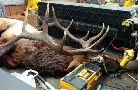 Hunter Mistakes Elk for Whitetail Deer, Faces Big Fines