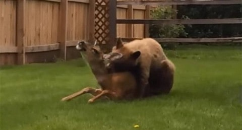 Bear Viciously Mauls Screaming Deer in Residential Neighborhood