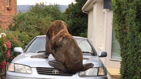See Rampaging Seal Take Over Neighborhood, Doesn't Care Who's Car it Sits On