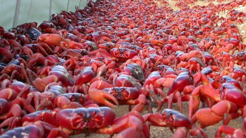 Millions of Red Crabs Leave Christmas Island for Mating Season