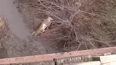 Big Buck Loses It's Mind, Jumps Over Car and Off Bridge on Video