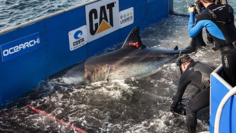 Katherine the Great White Shark Returns to the Coast