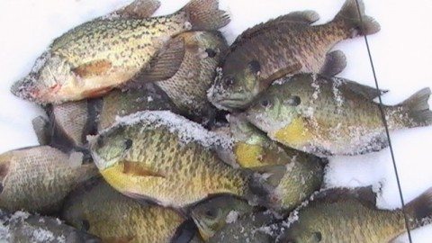 Man Caught with 2,500 Panfish in His Possession Gets Fined $24,000