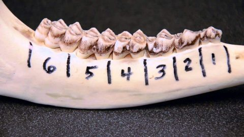 The Easiest Way to Know How Old Your Buck is? It's in the Jawbone
