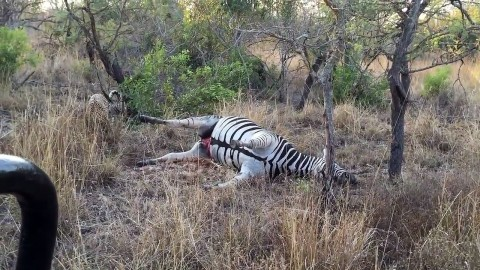 Leopard Gets More Than It Bargained for When a Zebra Carcass 'Explodes'