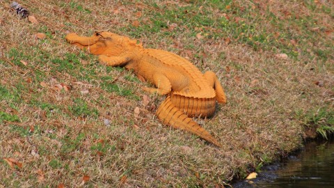 The Curious Case of the Orange Alligator
