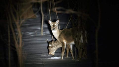 Spotlight Poaching Brings these Hunters a 3-Year Ban