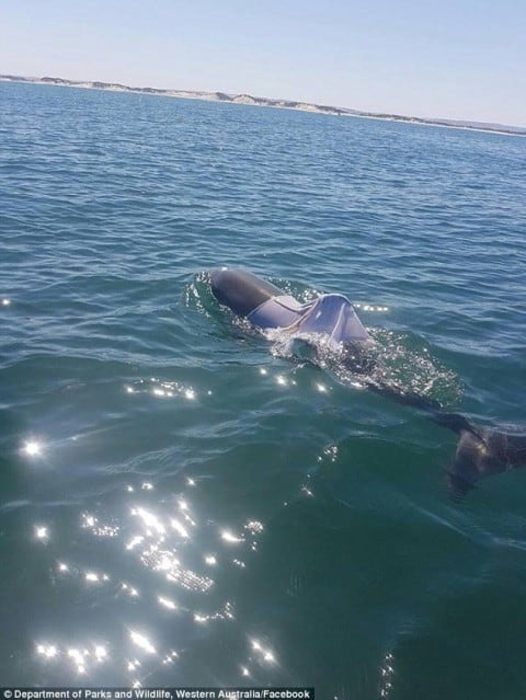 Authorities Search for T-Shirt Wearing Dolphin After Bizarre Claims and Photos Emerge