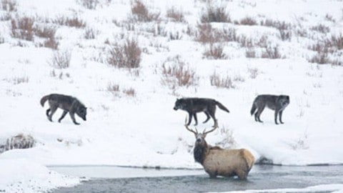 Bull Elk Cornered by Wolf Pack Takes Them On in Epic Standoff