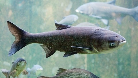 Department of Natural Resources Offers $1 Million to Anyone Who Can Stop the Asian Carp