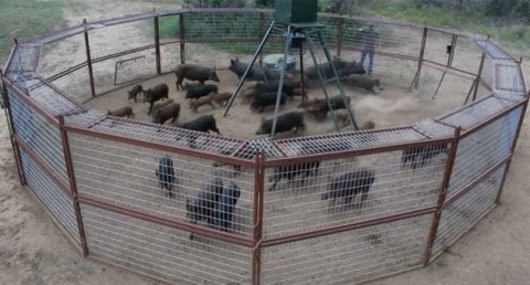 Trapper Catches 44 Hogs at the Same Time