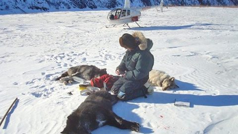 Russia Wants Tourists to Shoot Wolves From Choppers for $15,000