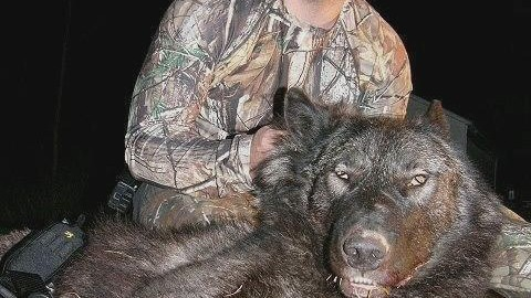 Hunter Finds the Fabled Wolf-Bear and Kills It