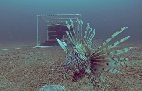 New Trap Designs Could Put a Stop to the Invasive Lionfish