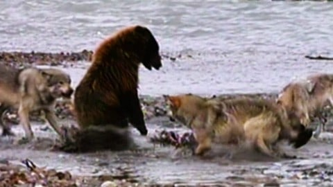 Grizzly Bear Battles Wolfpack Over What's for Dinner