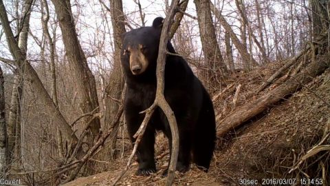 Video: Bear Emerges from Den…and Lays Around for Another Month