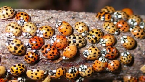 Those Harmless 'Ladybugs' in Your House May Be Something Much More Dangerous