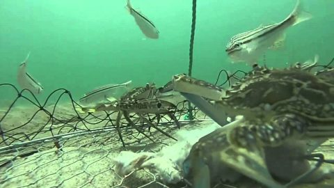 Underwater Video Shows What Happens After A Crab Trap is Laid