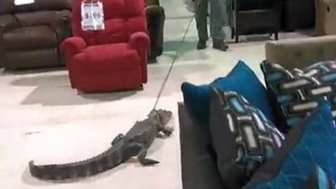 Law Enforcement Escorts Gator Through Furniture Store; Because Why Not?