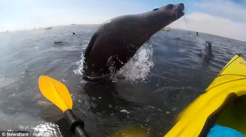 VIDEO: Cape Seal Jumps Out of the Water and Directly Into Kayakers Face