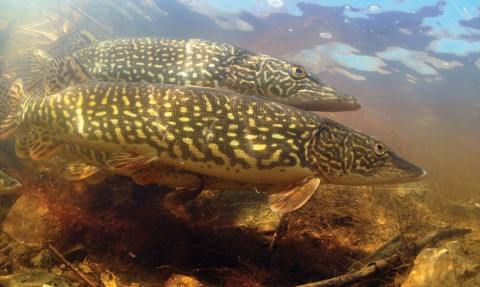 You'll Get a $20 Reward for Every Northern Pike Caught in This State