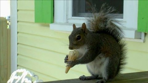 Ice Cream Loving Squirrel Goes to the Same Shop Every Single Day