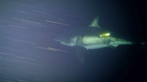 VIDEO: Researchers Record a Great White Shark Napping for the First Time Ever
