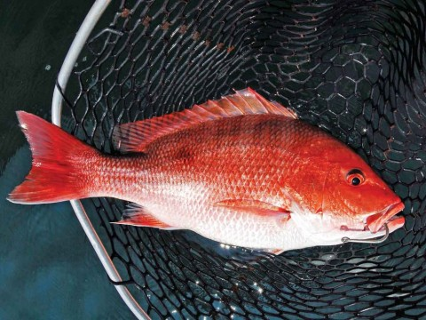 Federal Red Snapper Season in the Gulf Reopens Today and Extends Through Labor Day