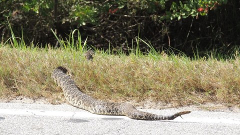 Why Did the Most Massive Rattlesnake in Existence Decide to Terrify Everyone by Crossing the Road?