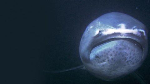 VIDEO: Diver Spots Rare 'Alien-Like' Megamouth Shark Off the Coast