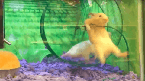 VIDEO: Hamster Absolutely Fails at Running on Wheel and Gets Demolished