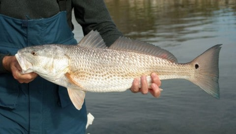 Florida Fish and Wildlife Commission Considers Closed Redfish Season – The True Story