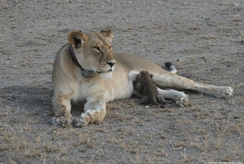 Wild Lioness Photographed Nursing a Leopard Cub in First of Its Kind Sighting