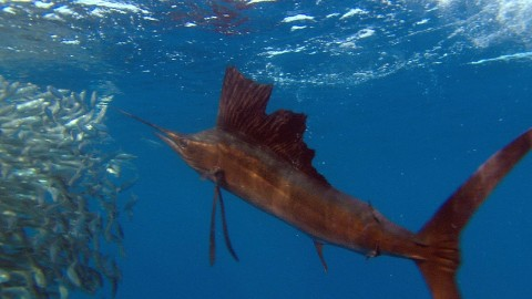 Sailfish Are the Kings of Underwater Hunting