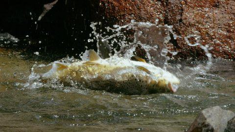 VIDEO: Massive Trout Have Even Bigger Appetites and Prefer to Eat Mice
