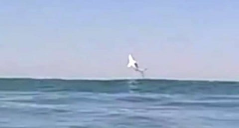 Surfer Records a Great White Breaching the Surface on His Last Run