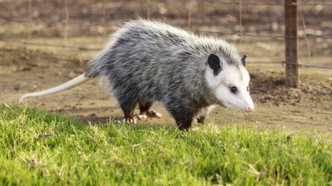 Opossums Help Prevent Lyme Disease Because They Eat Tons of Ticks